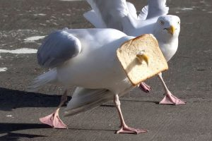 Pic from Caters News Agency (PICTURED: Seagul struggles with bread over its face before eating the whole slice). This is one IN-BREAD seagull as it got its head stuck in a piece of thin-sliced white. During a food fight on the harbours edge in Akranes, Iceland, one over enthusiastic gull managed to punch its beak right through the loaf. However, it had the last laugh, as it was able to swallow the entire piece of bread itself, with greedy pals looking on. SEE CATERS COPY